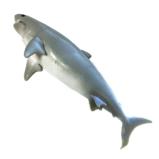№252 Большая белая акула